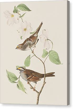Sparrow Canvas Print - White Throated Sparrow by John James Audubon