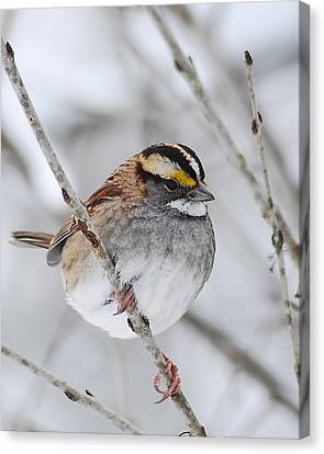 White Throated Sparrow Canvas Print by Michael Peychich
