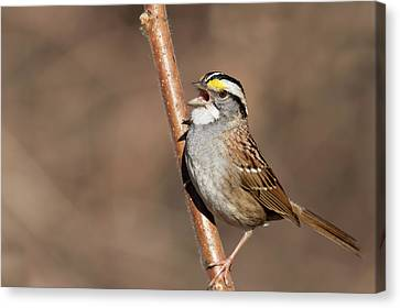 Canvas Print featuring the photograph White-throated Sparrow by Mircea Costina Photography