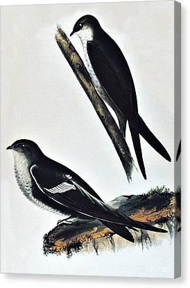 White Throated Swift Bird Canvas Print