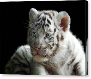 Tiger Canvas Print - White Tiger Cub by Julie L Hoddinott