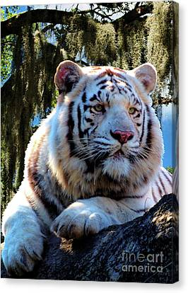 Canvas Print featuring the photograph White Tiger  by Ken Frischkorn