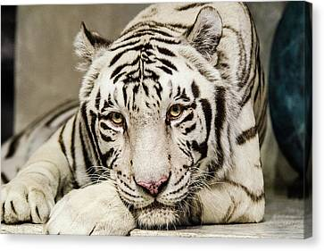 White Tiger Looking At You Canvas Print