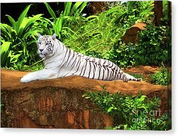 White Tiger Canvas Print by MotHaiBaPhoto Prints