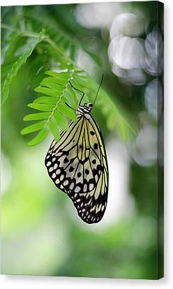 White Tree Nymph Butterfly 2 Canvas Print by Marie Hicks