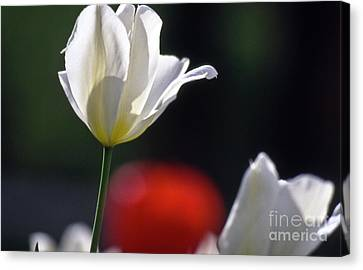 White Tulips  Blossom Canvas Print by Heiko Koehrer-Wagner