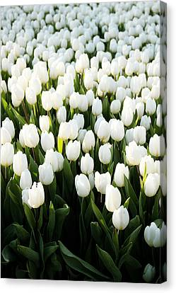White Tulips In The Garden Canvas Print by Linda Woods