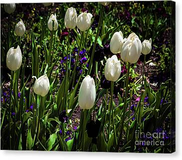 White Tulips Canvas Print by Jon Burch Photography