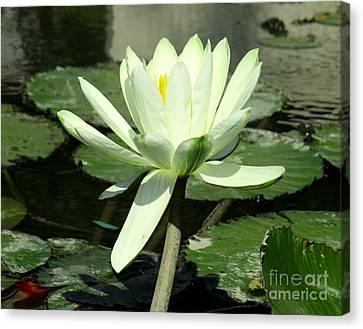 Canvas Print featuring the photograph White Water Lily 1 by Randall Weidner