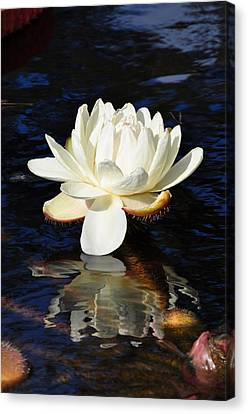 White Water Lily Canvas Print by Andrea Everhard