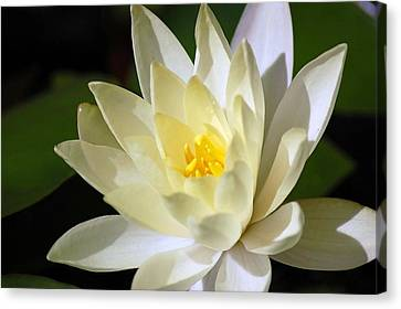 White Water Lily Canvas Print by Donna Bentley