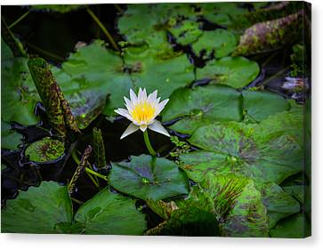 White Water Lily Canvas Print by Garry Gay