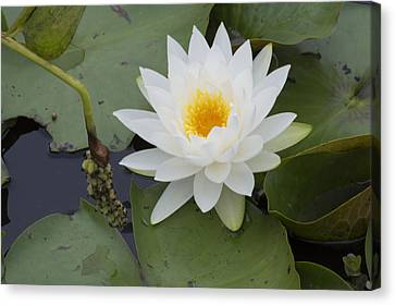 White Waterlily Canvas Print by Linda Geiger