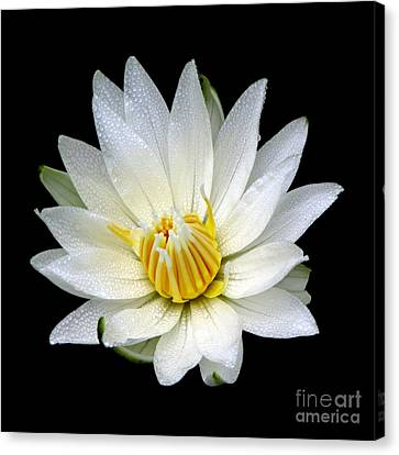 Canvas Print featuring the photograph White Waterlily With Dewdrops by Rose Santuci-Sofranko