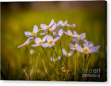White Wild Flowers - Close Up Canvas Print