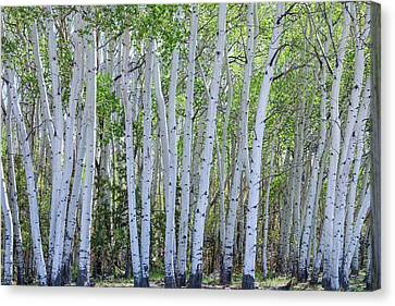White Wilderness Canvas Print by James BO Insogna