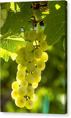 White Wine Grapes Lit By The Sun Canvas Print by Teri Virbickis