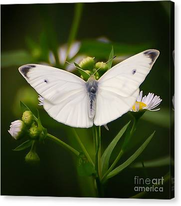 White Wings Of Wonder Canvas Print
