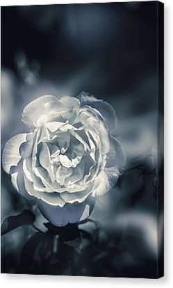 White Winter Rose Wilting In A Blue Gloomy Field Canvas Print by Jorgo Photography - Wall Art Gallery