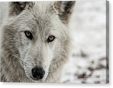 White Wolf II Canvas Print