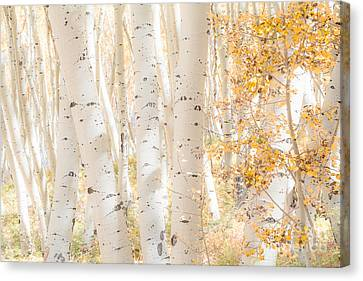 White Woods Canvas Print by The Forests Edge Photography - Diane Sandoval