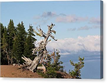 Whitebark Pine At Crater Lake's Rim - Oregon Canvas Print by Christine Till
