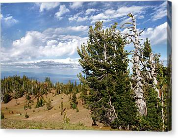 Whitebark Pine Trees Overlooking Crater Lake - Oregon Canvas Print