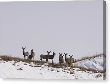 Whitetail Deer In The Snow In Burwell Canvas Print by Joel Sartore