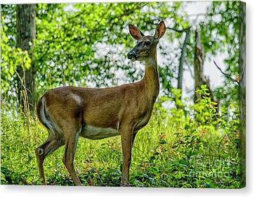 Canvas Print featuring the photograph Whitetail Deer  by Thomas R Fletcher