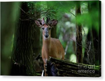 Whitetail Deer With Velvet Antlers In Woods Canvas Print by Dan Friend
