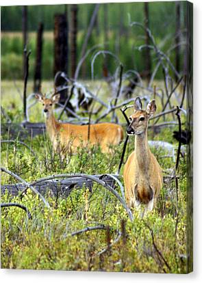 Whitetails Canvas Print by Marty Koch
