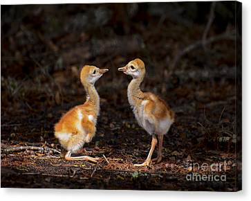 Who Is Bigger? Canvas Print by Zina Stromberg