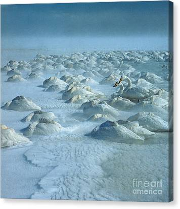 Whooper Swans In Snow Canvas Print by Teiji Saga and Photo Researchers