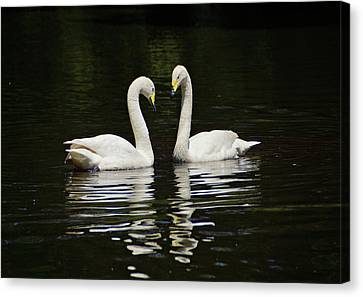 Canvas Print featuring the photograph Whooper Swans by Sandy Keeton