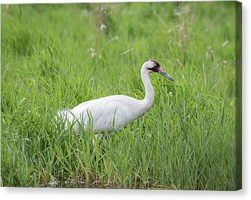 Whooping Crane 2017-2 Canvas Print by Thomas Young