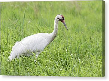 Whooping Crane 2017-3 Canvas Print by Thomas Young