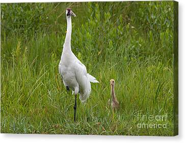 Whooping Crane And Chick Canvas Print by Scott Nelson