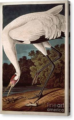 Crane Canvas Print - Whooping Crane by John James Audubon