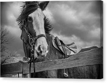Black And White Horse Canvas Print - Why Hello There by Kristopher Schoenleber