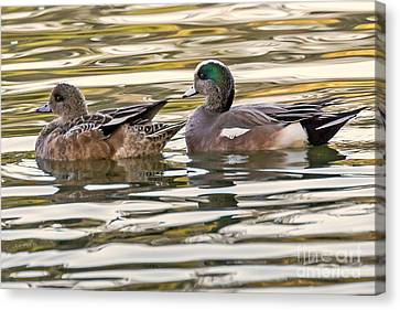 Wigeon Couple Canvas Print by Kate Brown