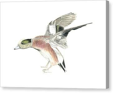 Wigeon Canvas Print