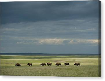 Wild American Bison Roam On A Ranch Canvas Print by Joel Sartore