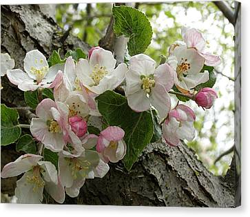 Canvas Print featuring the photograph Wild Apple Blossoms by Angie Rea