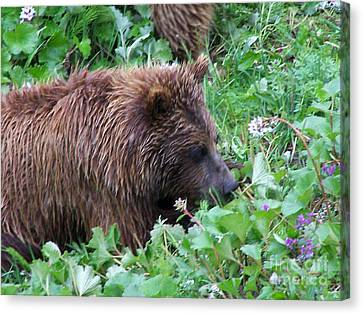 Wild Bear Eating Berries  Canvas Print by Kathy  White