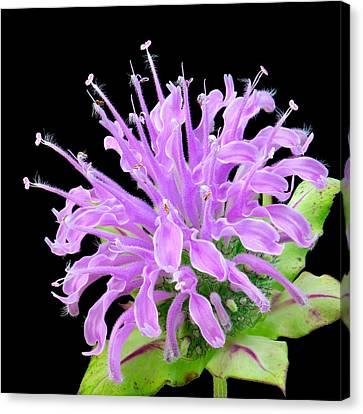 Wild Bergamot Also Known As Bee Balm Canvas Print