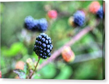 Wild Berries  Canvas Print by JC Findley