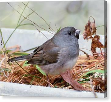 Canvas Print featuring the photograph Wild Birds - Dark-eyed Junco by Kerri Farley