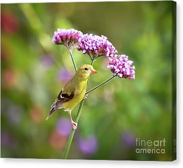 Canvas Print featuring the photograph Wild Birds - Female Goldfinch by Kerri Farley