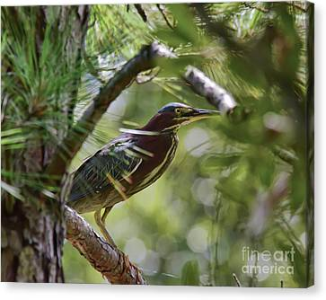 Canvas Print featuring the photograph Wild Birds - Green Heron Tries To Hide by Kerri Farley