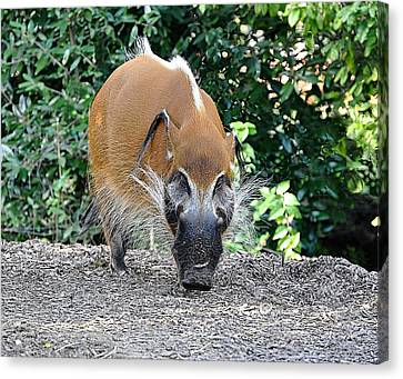 Wild Boar Canvas Print by Jan Amiss Photography